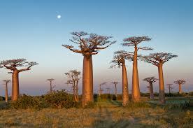 baobab_Madagascar