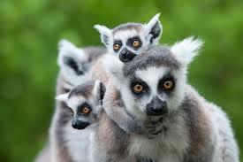 catta_Madagascar